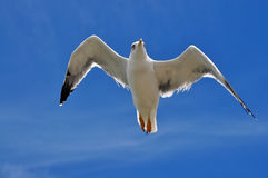 Larus cachinnans. large seagull in flight Stock Photos