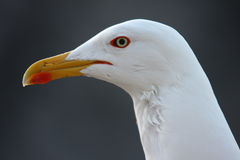 Larus cachinnans. Yellow-legged Gull Stock Images