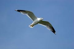 Larus canus, Common Gull Royalty Free Stock Image