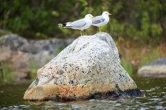 Larus canus, Common Gull Stock Images