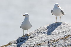 Larus canus, Common Gull Royalty Free Stock Images