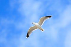 Larus canus, Common Gull Stock Photography