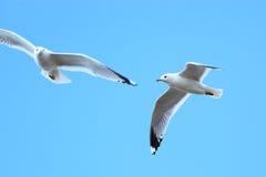 Larus canus, Common Gull Stock Photos