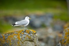 Larus canus. Norway`s wildlife. Beautiful picture. From the life of birds. Free nature. Runde Island in Norway. Scandinavian wildl. Ife. North of Europe. Picture stock photos