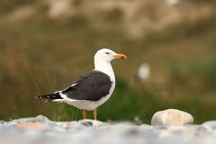 Larus fuscus. Beautiful nature of the North Sea. European bird. Royalty Free Stock Photo