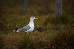 Larus fuscus Fotografujący w Finlandia Przyroda Finlandia wolna od natury zdjęcie royalty free
