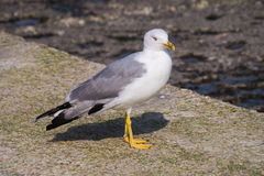 Larus gull in a summer day. Large bird Larus seagull in a summer day stock photo Stock Images
