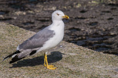 Larus gull in a summer day. Large bird Larus seagull in a summer day stock photo Royalty Free Stock Photography
