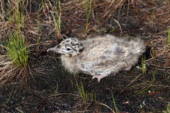 Larus heuglini. Gull chick hiding in the grass in the North of S Stock Photos