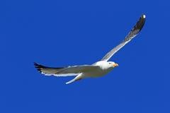 Larus heuglini Heuglin& x27;s Gull close up hovering in the sky. Larus heuglini. Larus heuglini Heuglin& x27;s Gull in the sky Royalty Free Stock Photos