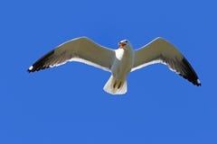 Larus heuglini. Larus heuglini Heuglin& x27;s Gull close up hovering. Larus heuglini. Larus heuglini Heuglin& x27;s Gull in the sky Stock Photography