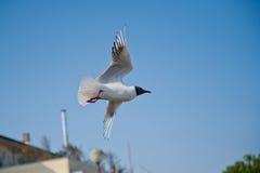 Larus melanocephalus in flight ravenna Royalty Free Stock Photography