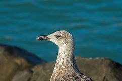 Larus Michaellis Stock Photography