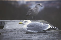 Larus michahellis Royalty Free Stock Photography