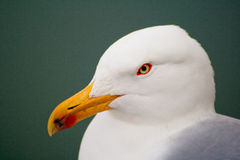 Larus michahellis Stock Photo