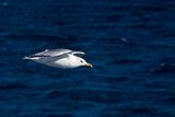 Larus michahellis. Seagull bird blue Royalty Free Stock Images
