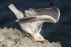 Larus michahellis Royalty Free Stock Images