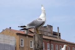 Larus michahellis, Yellow-legged gulls on bricole in italian town Chioggia. Blue sky Royalty Free Stock Photos