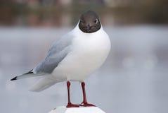 larus ridibundus海鸥 免版税图库摄影