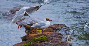 Larus ridibundus Royalty Free Stock Photos