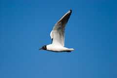 Larus ridibundus Stock Photos