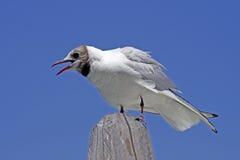 Larus ridibundus - Black-headed gull. Sitting on a a wood pillar in Italy Stock Photo
