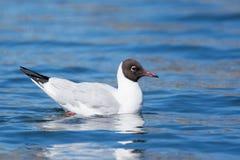 Larus ridibundus. Or Black-headed Gull swimming on blue water Royalty Free Stock Image