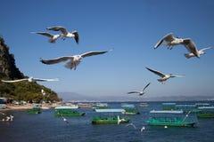 Larus ridibundus przy Fuxian jeziorem Zdjęcie Royalty Free