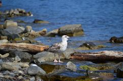 Larus ridibundus Stock Photography