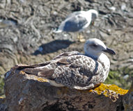 Larus on a rock. Larus landed on a rock Royalty Free Stock Image
