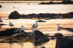 Larusargentatus, seagulls royaltyfria bilder
