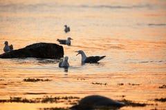 Larusargentatus, seagulls royaltyfri foto