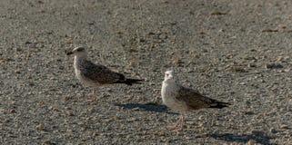 Larusen marinus för två promenerar den unga seagulls kusten av små gråa kiselstenar på solnedgången royaltyfria foton