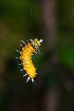 Larv för Callizygaena ada Zygaenidae Fotografering för Bildbyråer