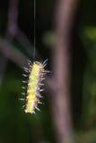 Larv för Callizygaena ada Zygaenidae Royaltyfri Foto