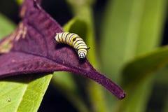 Larv för monarkfjäril (Danausplexippus) royaltyfria foton