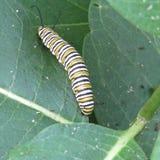 Larv för plexippus för Danaus för monarkfjäril som äter gemensam milkweedAsclepiassyriaca arkivfoto
