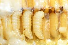 Larv Honey Bee i bikupa arkivbilder