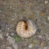 larva fotografia stock