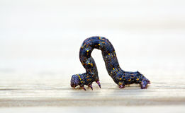 Larva Stock Images