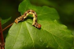 Larva Stock Image