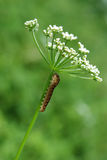 Larva Royalty Free Stock Photography
