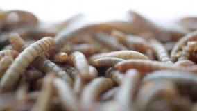 Larva stock video