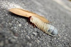 Larva Immagini Stock Libere da Diritti