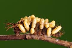 larva royaltyfri bild