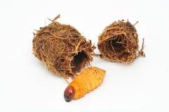 Larva & bozzolo del tonchio della palma Fotografia Stock