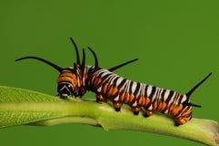Larva av fjärilen/Euploea mulciber /brown Fotografering för Bildbyråer