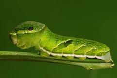 Larva av fjärilen på den twig/green/Achillides bianoren Royaltyfri Fotografi