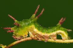 Larva av fjärilen på den twig/green/Parathyma sulpitiaen Royaltyfria Bilder