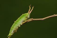 Larva av fjärilen på twig/green/Hestina assimilis Royaltyfri Fotografi